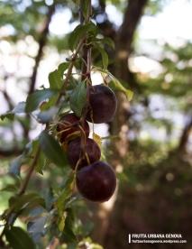 Mirabolano Frutti albero 2